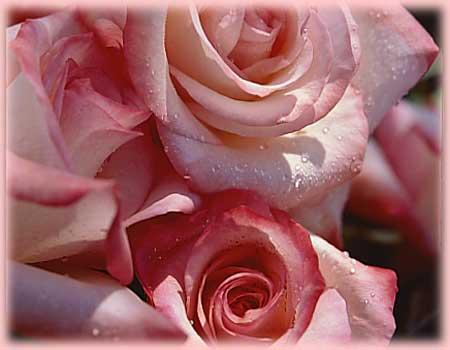 Gemini bareroot rose