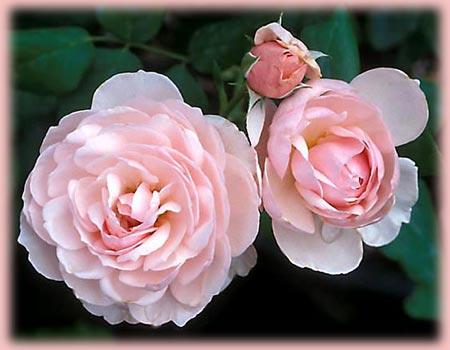 Heritage bareroot rose