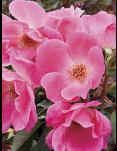 Pink Knock Out bareroot rose